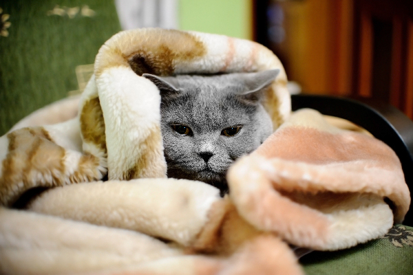 A sick gray senior cat wrapped in blankets.