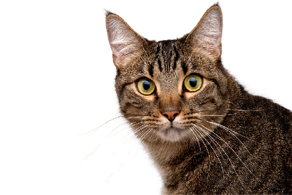 A brown tabby cat with an M on forehead.