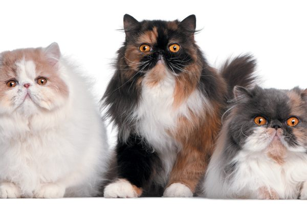 The Persian cat can get along well with other pets. Photography ©GlobalP | Getty Images.