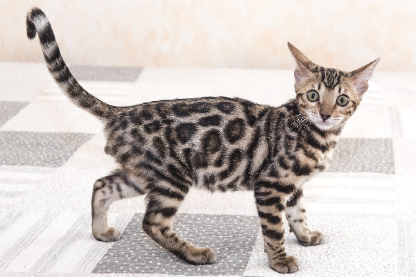 A young Bengal cat or kitten.