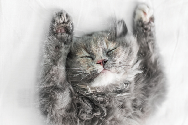 A gray cat with a multicolored nose asleep with arms up.
