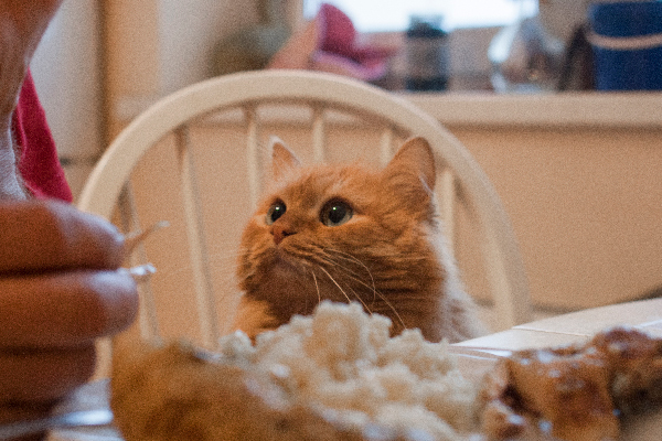 Cat at a table staring at a chicken bone.