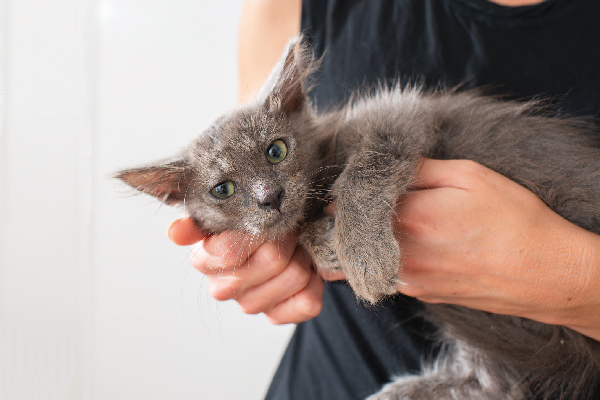 A Nebelung being held.