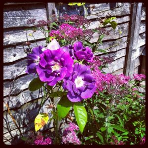 Blue Rose against garden fence