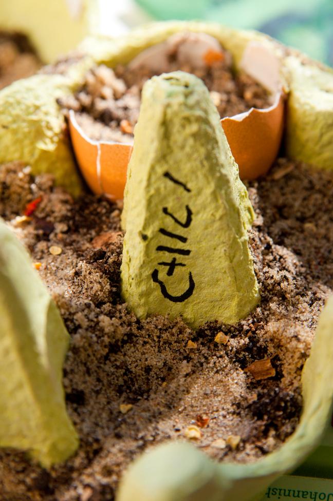 chili-vorziehen-eierkarton