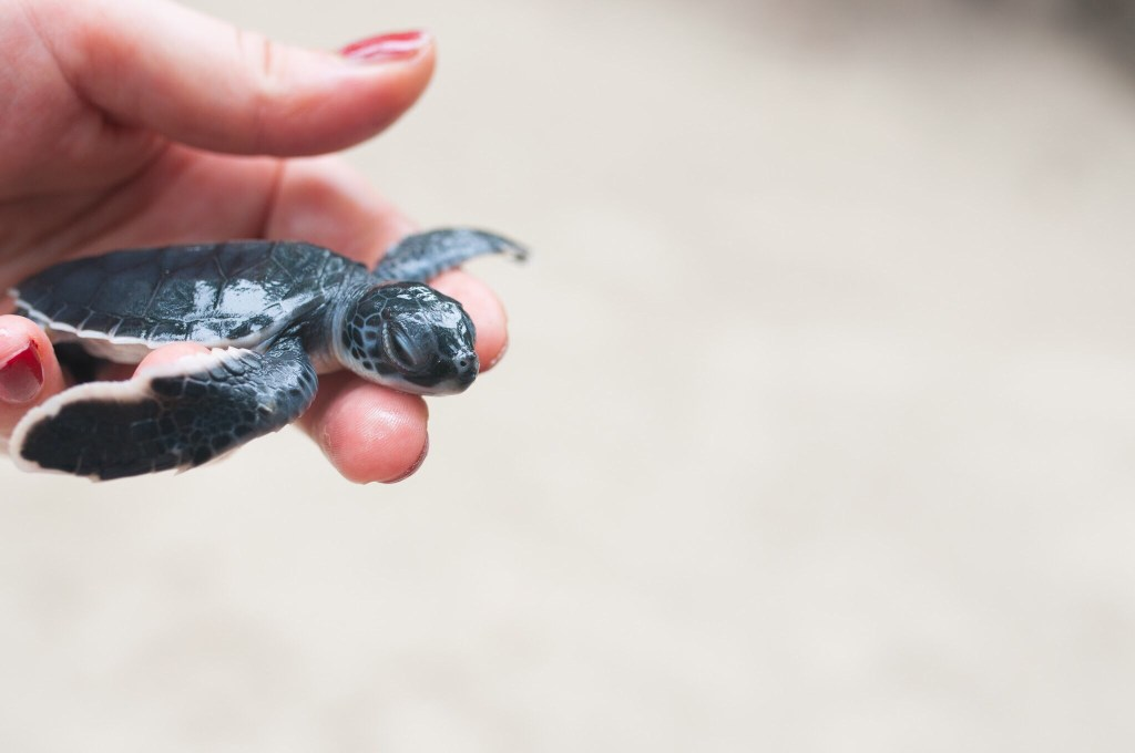 hatchling baby turtle tulum