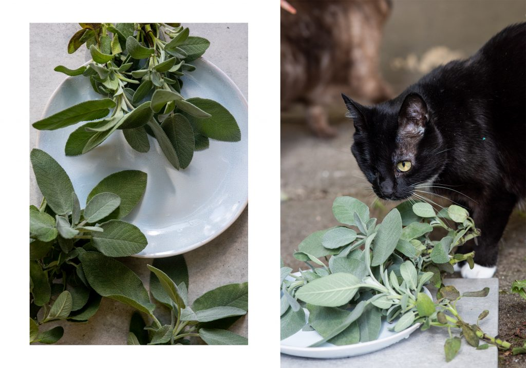Salbei Rezepte Heilpflanze