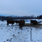 Winter Hay Bale Grazing: Part 3 of 4