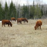 Cattle Breeding Series – An Introduction