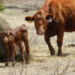 Springtime on the Farm: Baby Calves and Green Grass!