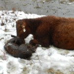 It's Calving Time: Part 2