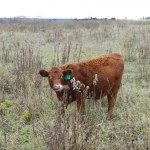 Vaccinating your Calves