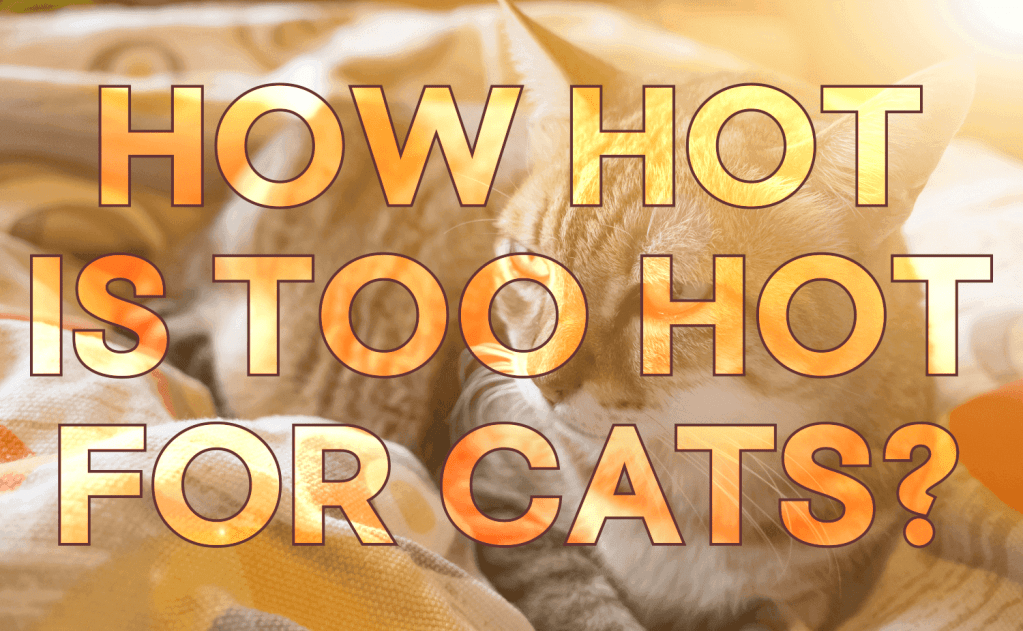 How Hot is Too Hot for Cats?