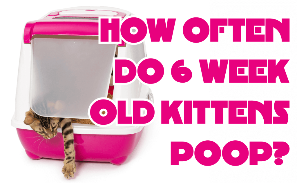 How Often Do 6 Week Old Kittens Poop?
