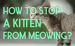 How to Stop a Kitten From Meowing?