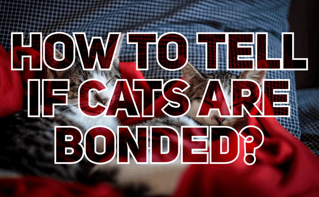 How To Tell if Cats Are Bonded?
