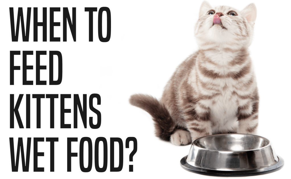 When To Feed Kittens Wet Food?