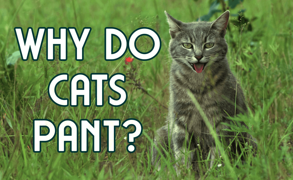 Why Do Cats Pant?
