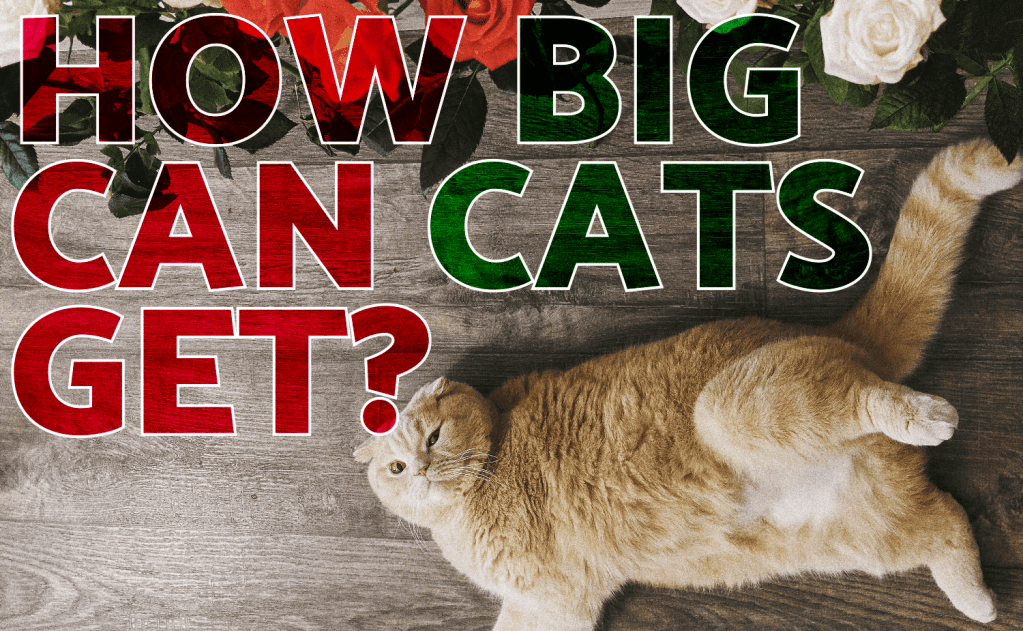 How Big Can Cats Get?