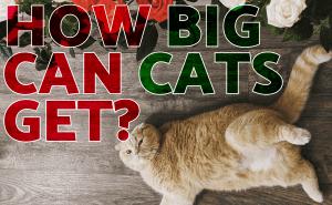 How Big Can Cats Get?