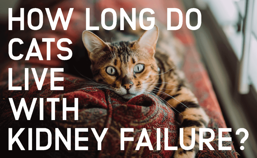 How Long Do Cats Live With Kidney Failure?