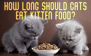 How Long Should Cats Eat Kitten Food?
