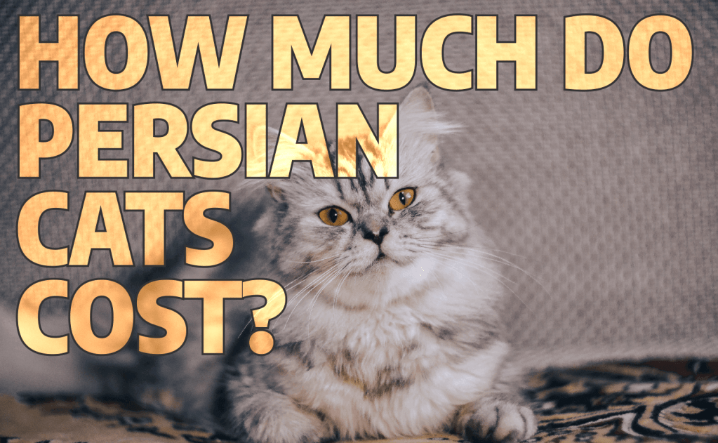 How Much Do Persian Cats Cost?