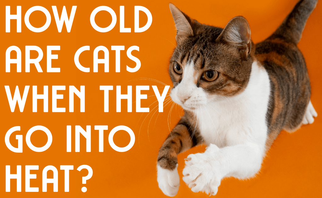 How Old Are Cats When They Go Into Heat?