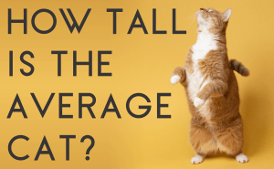 How Tall Is the Average Cat?