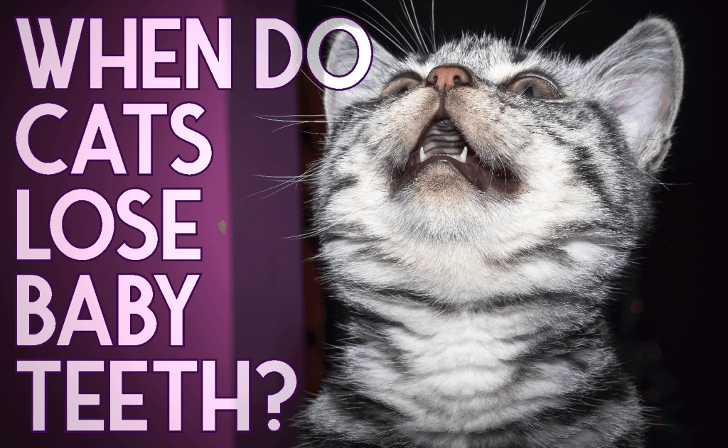 When Do Cats Lose Baby Teeth?