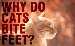 Why Do Cats Bite Feet?