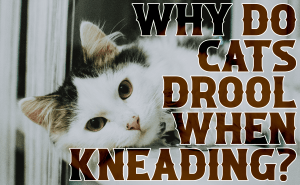 Why do Cats Drool When Kneading?