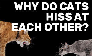 Why Do Cats Hiss At each Other?
