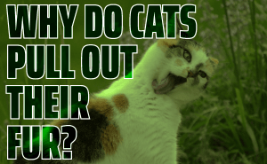 Why Do Cats Pull Out Their Fur?