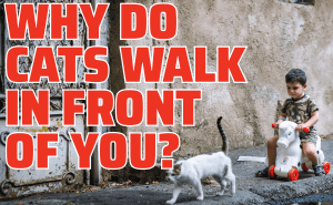 Why Do Cats Walk In Front of You?