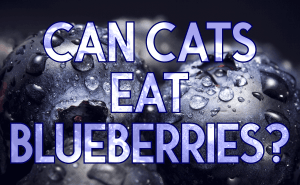 Can Cats Eat Blueberries?