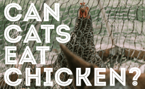 Can Cats Eat Chicken?
