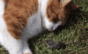 Do Cats Eat Mice Whole?