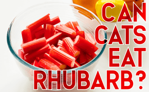Can Cats Eat Rhubarb?