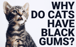 Why Do Cats Have Black Gums?
