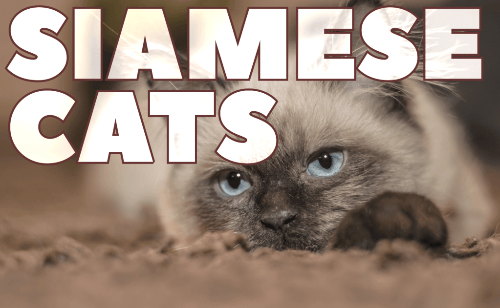 All About the Siamese Cat