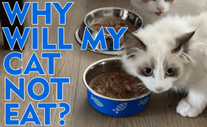 Why Will My Cat Not Eat?