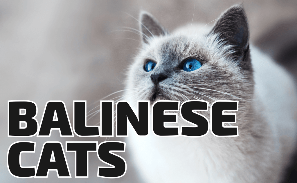 All About Balinese Cats