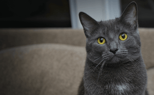 All About Chartreux Cats