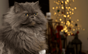 All About Himalayan Cats