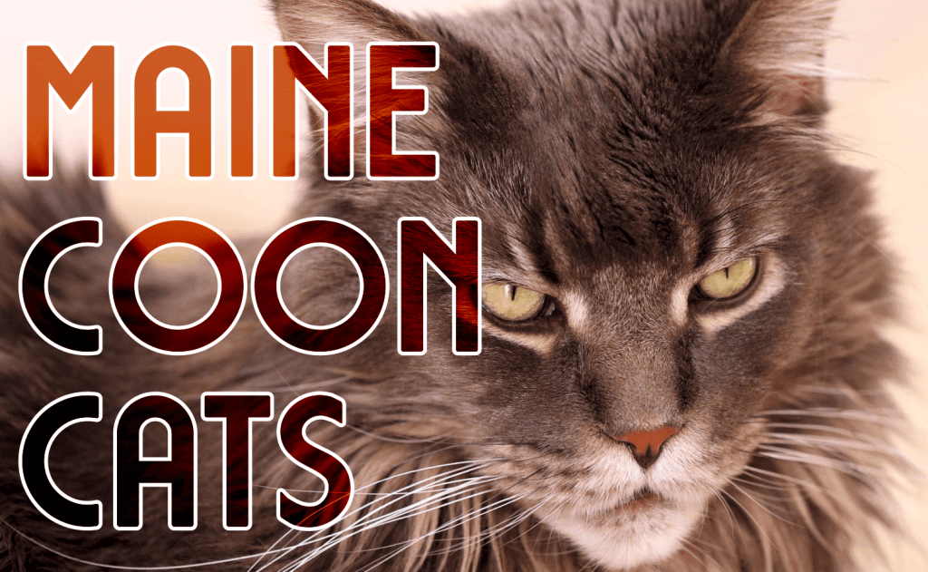 All About Maine Coon Cats