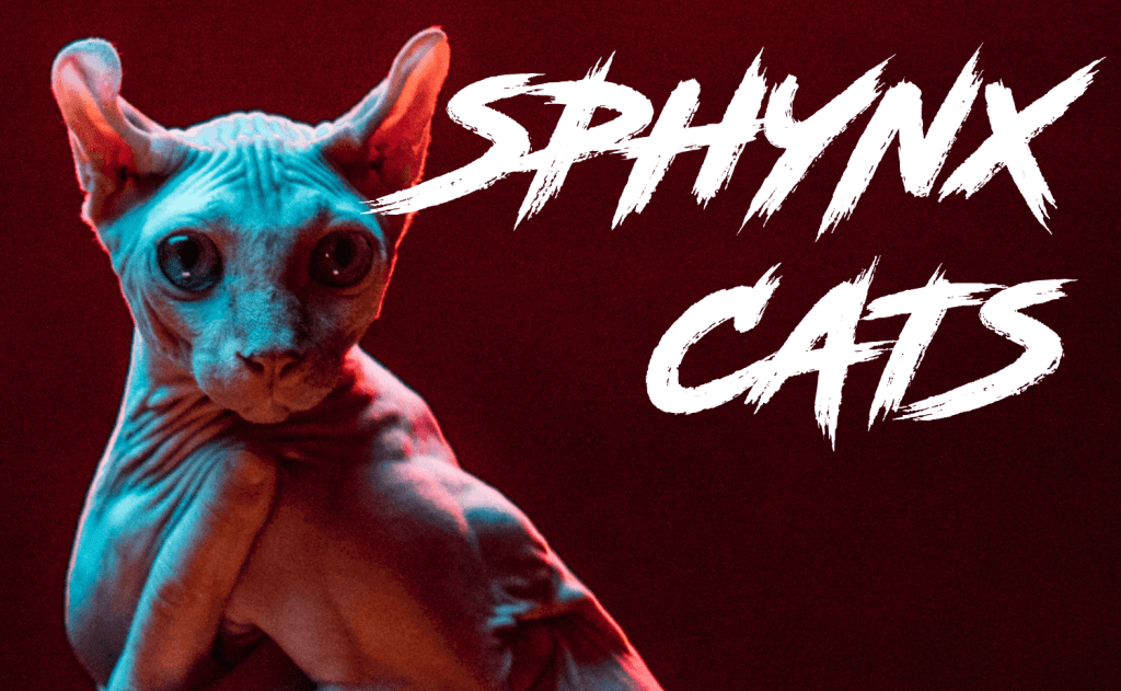 All About Sphynx Cats