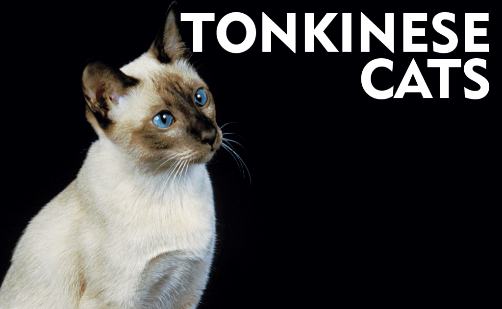 All About Tonkinese Cats