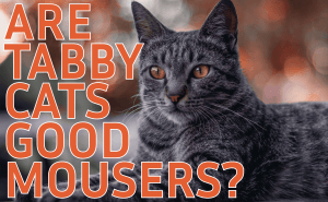Are Tabby Cats Good Mousers?