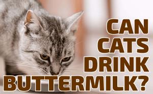 Can Cats Drink Buttermilk?